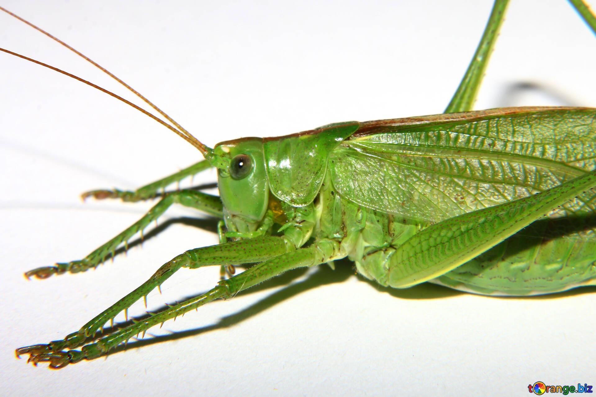 grasshoppers big grasshopper on white background macro № 34023