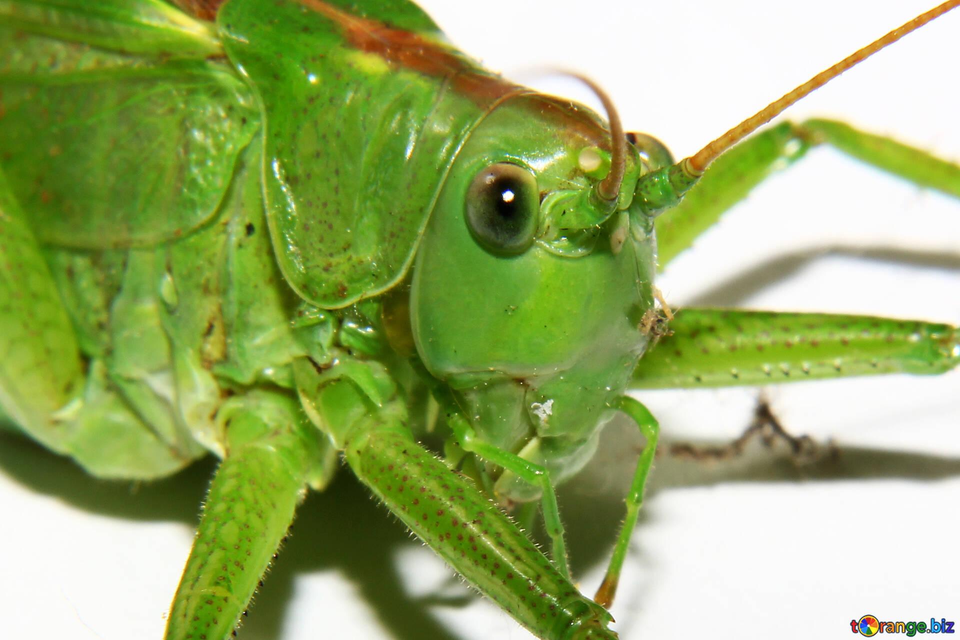 grasshoppers grasshopper macro macro № 34028