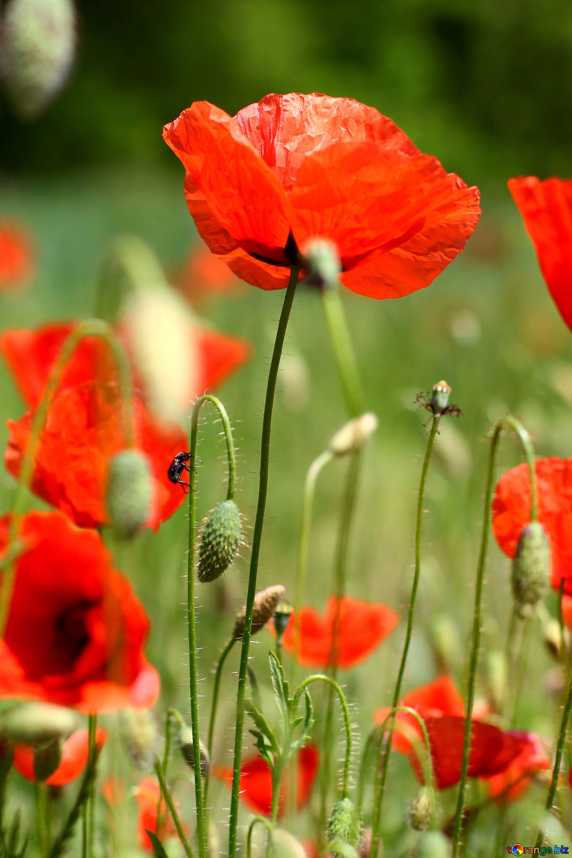 Картинки цветы красные маки, про валю прикольные