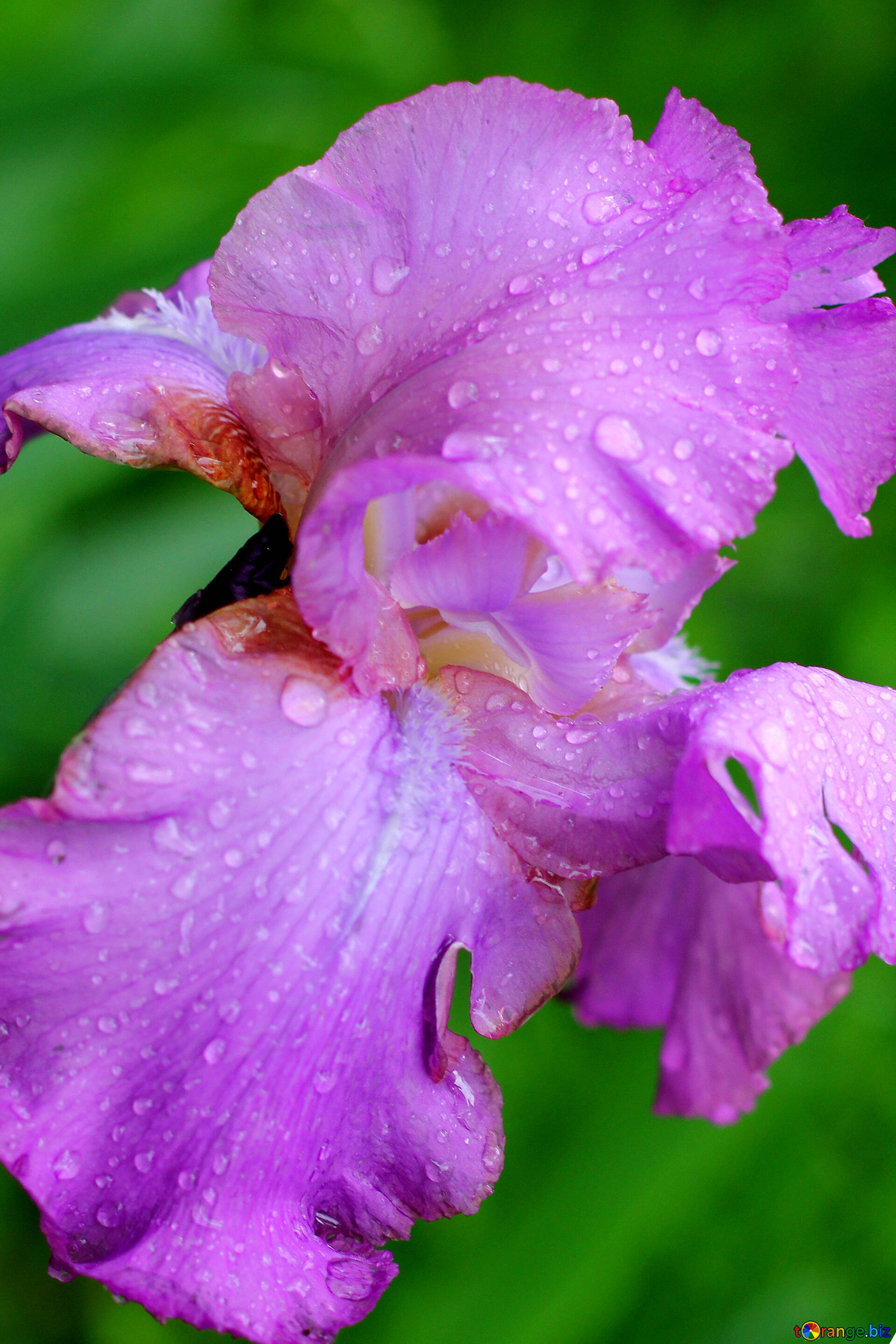Flowers with drops of dew flower of iris with large drops of dew download free image flower of iris with large drops of dew in hd wallpaper size 1920px izmirmasajfo