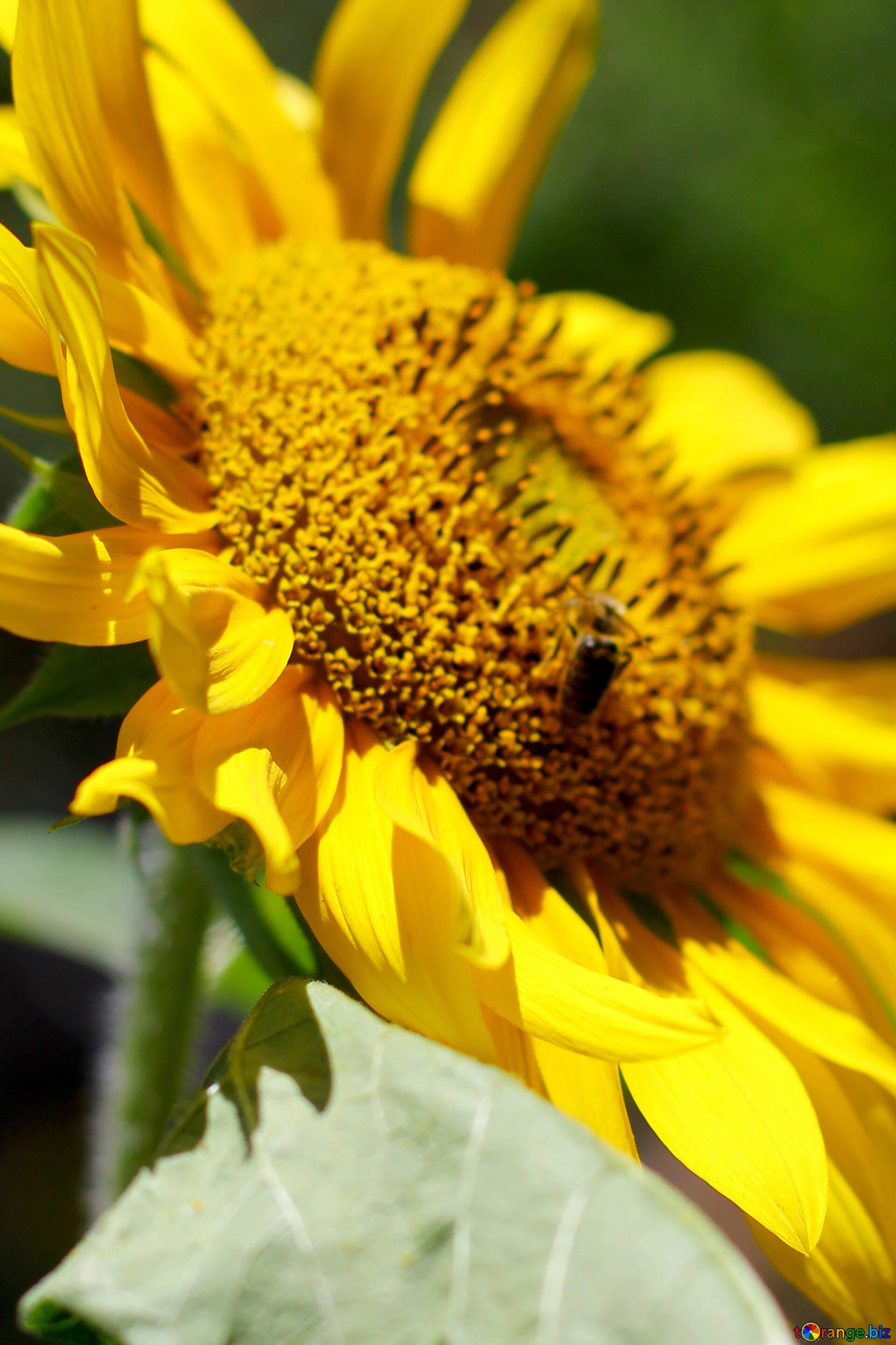 Flowers Sunflower Desktop Wallpaper A Large Yellow Flower Sunflower