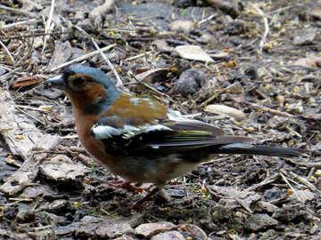 Bright bird chaffinch №34571