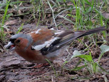 Bird chaffinch №34589