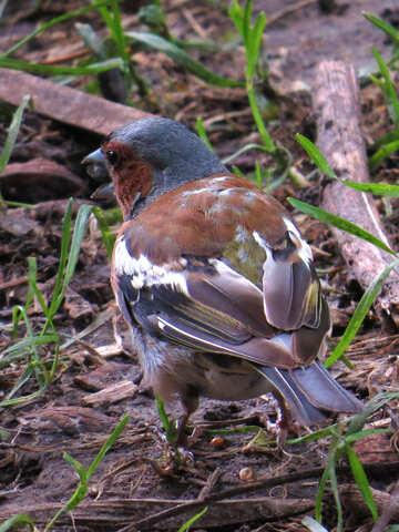 Bird chaffinch №34590