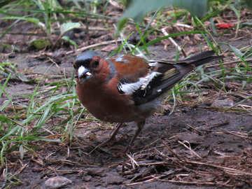 Bird chaffinch №34592