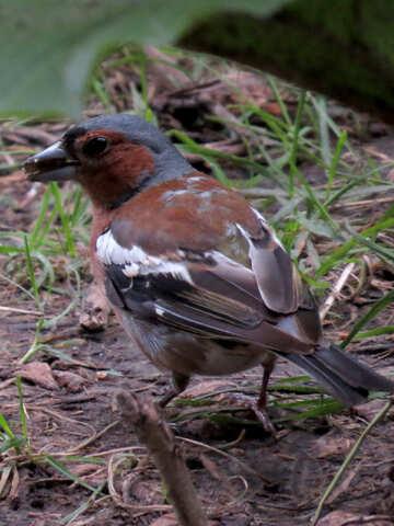 Bird chaffinch №34593