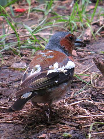 Bird chaffinch №34596
