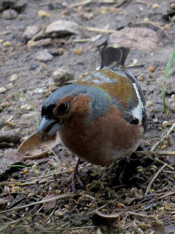 Bird chaffinch №34599