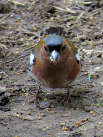 Bird chaffinch №34601