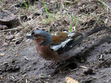Bird chaffinch №34604