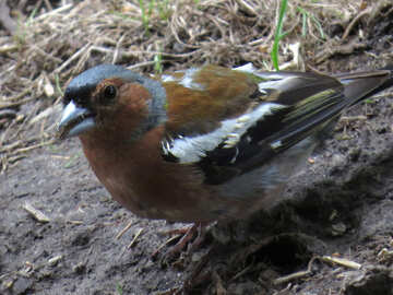 Bird chaffinch №34605