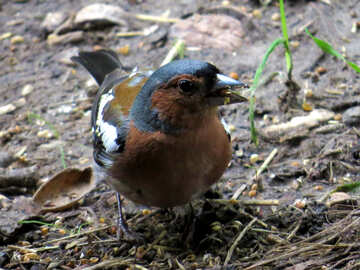 Bird chaffinch collects food №34600