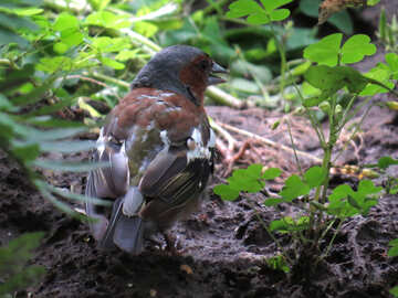 Chaffinch in the grass №34578