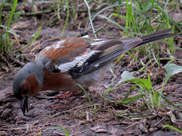 Chaffinch is looking for food №34588