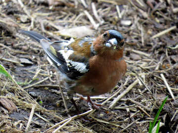 Chaffinch looks at the camera №34575