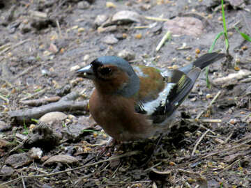 Bird chaffinch looks for food №34598