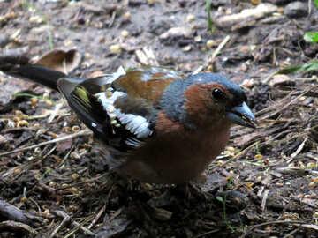 Chaffinch Sparrow №34597
