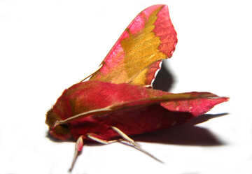 Great moth with red new №34303