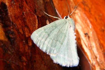 Grey Butterfly №34322