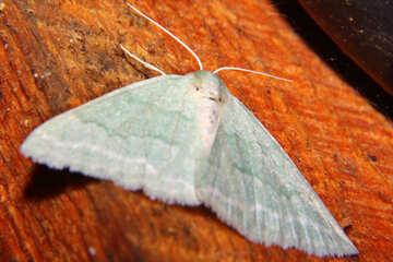 Grey moth №34318