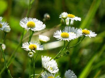 Gänseblümchen-Blumen №34393