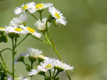 Daisy flowers field №34383