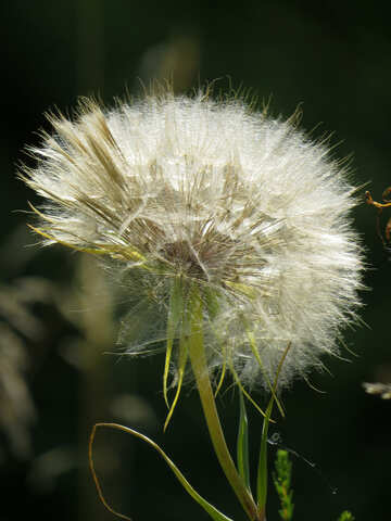 Big dandelion №34350