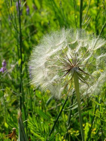 Big dandelion №34416