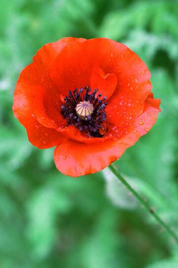 Poppy flower №34264