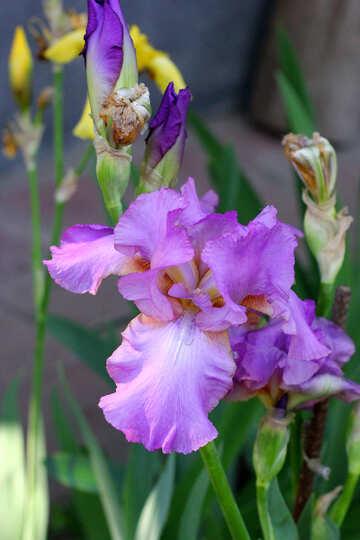 Colorful flowers iris №34760