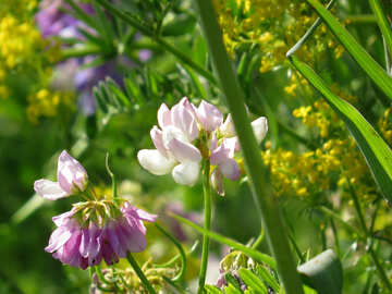 Multicolored wild flowers are pea