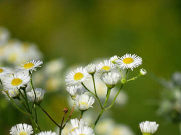 A beautiful picture with white field flowers №34378