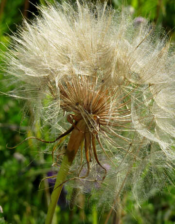 Big dandelion macro №34426