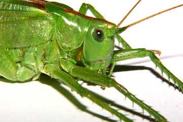 Green grasshopper №34024