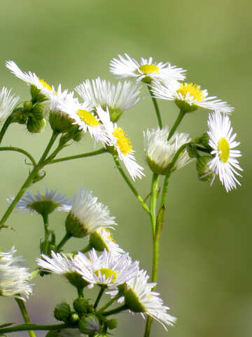 Small daisies №34384