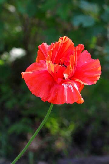 Opium poppies №34188
