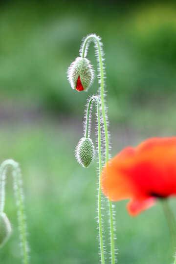 Bud poppy №34279