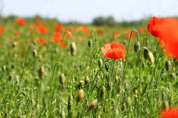 Poppy plantation №34250