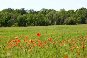 Wild poppy field №34242