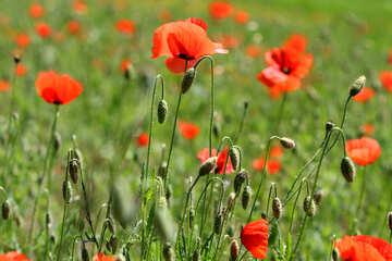 Wild red flowers №34225