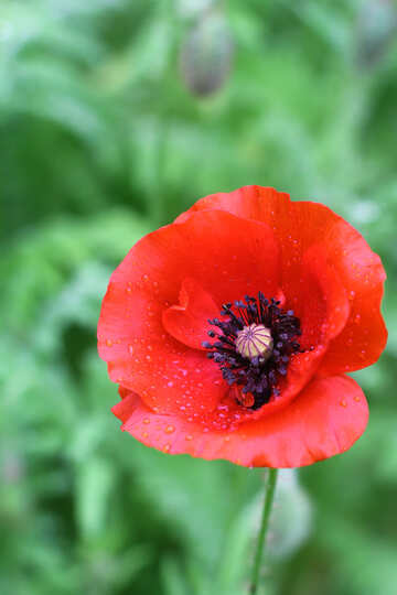 Poppy flower №34265