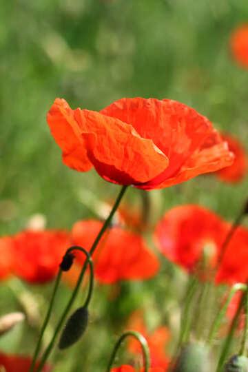 Fiore di papavero rosso №34201