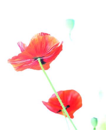 Poppy on white background №34180