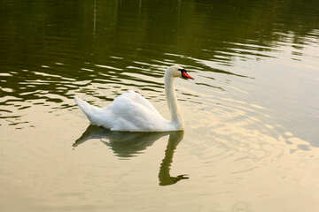 White Swan reflections №34049
