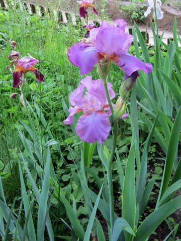 Flower iris garden №34752