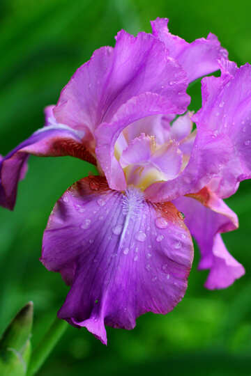 Iris flower with drops №34769