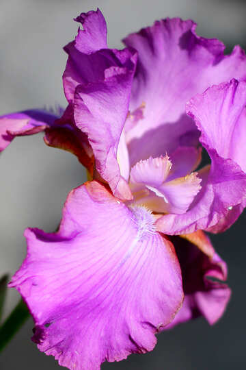 Purple Iris flower №34783