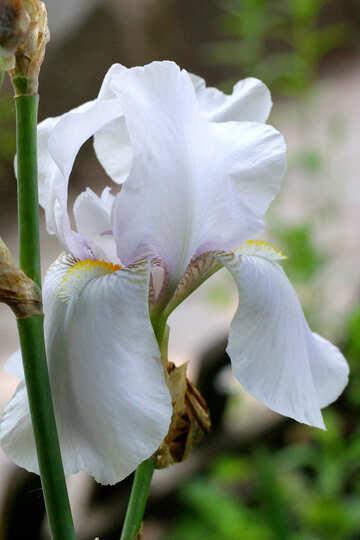 White iris №34758