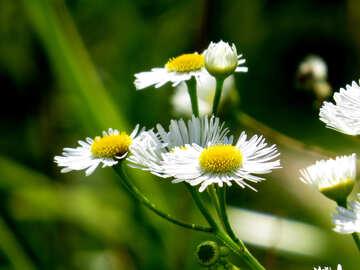 Flowers like Chamomile №34392