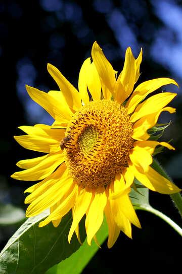 Sonnenblume №34814